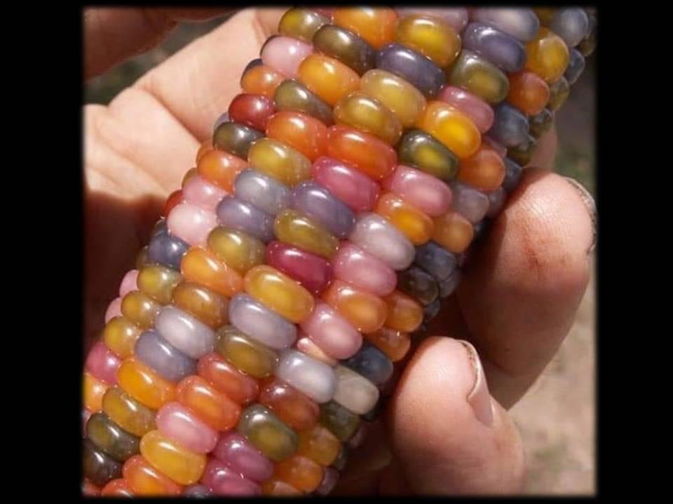 @gem corn